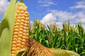 Preço do milho pode ter novas altas ainda em 2020 e tem perspectivas muito favoráveis também para 2021