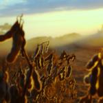 A importância e os benefícios do tratamento de sementes na soja